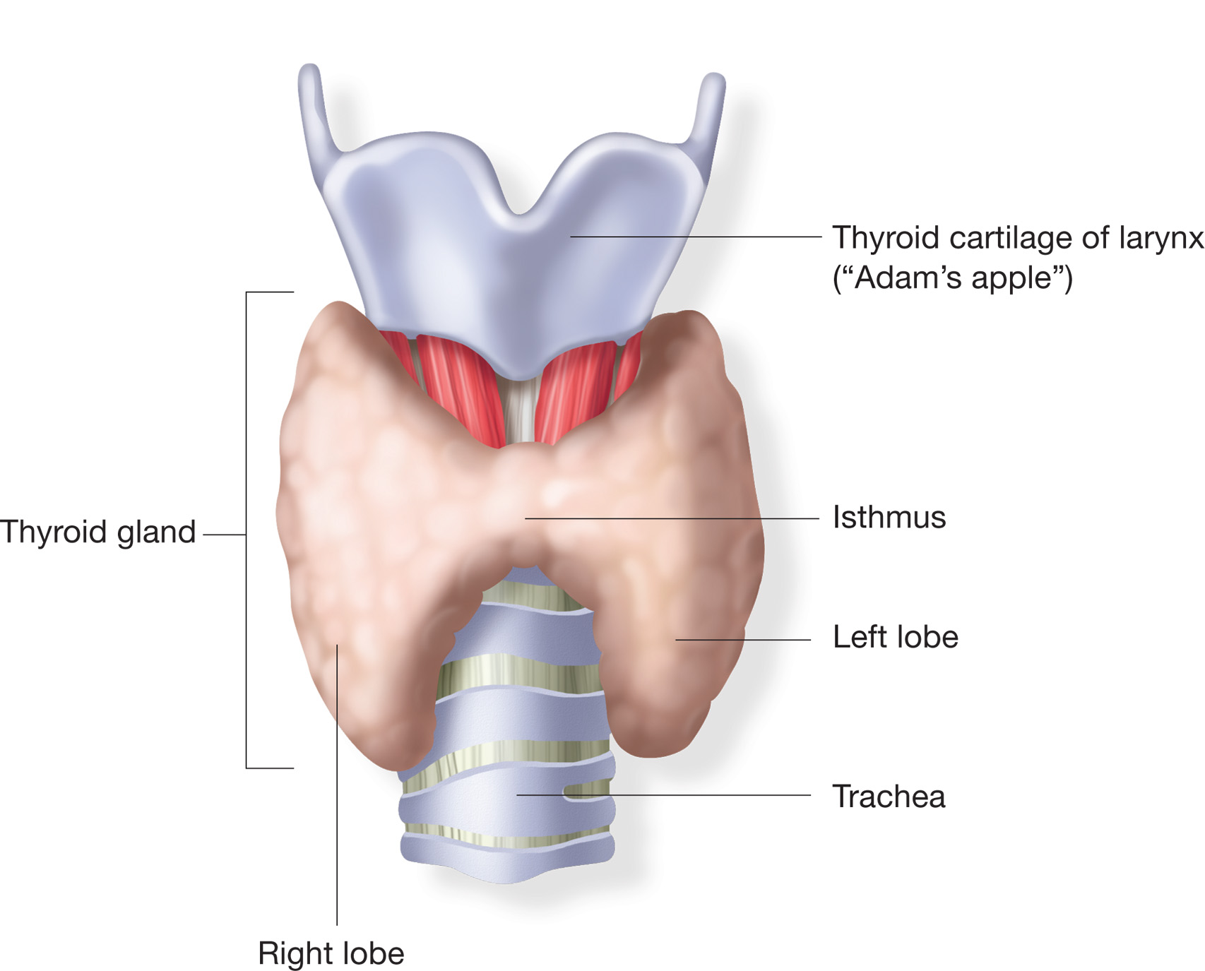 thyroid-gland